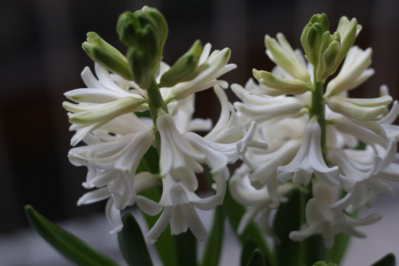 hyacinth-blooming